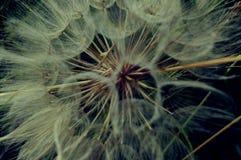Seme - asteraceae Fotografia Stock