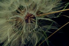 Seme - asteraceae Immagine Stock