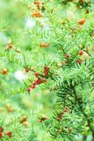 Seme comune di colore rosso del yew Fotografia Stock Libera da Diritti