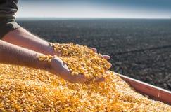 Seme del cereale Fotografie Stock