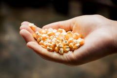Seme del cereale a disposizione Immagine Stock
