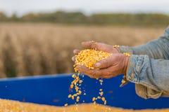Seme del cereale a disposizione dell'agricoltore Immagine Stock
