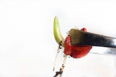 Seme del cereale germinato Fotografie Stock
