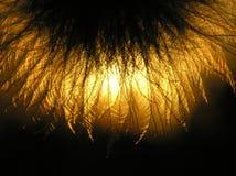 Seme del Clematis al tramonto fotografia stock