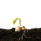 Seme del fagiolo che germina Fotografie Stock
