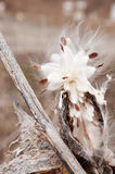 Seme del Milkweed fotografie stock