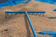 Seme del riso di agricoltura Fotografie Stock Libere da Diritti