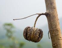 Seme dell'albero di gomma Immagini Stock