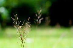 Seme dell'erba Fotografia Stock