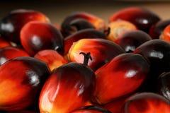 Seme dell'olio di palma Fotografie Stock