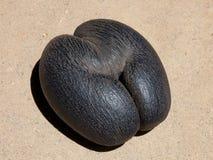 Seme della noce di cocco di Lodoicea Immagine Stock