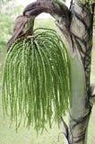 Seme della palma Fotografia Stock