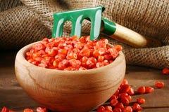 Seme della semina del cereale Immagini Stock Libere da Diritti