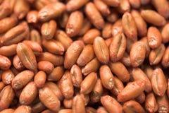 Seme della semina del frumento Fotografia Stock