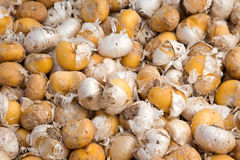 Seme di allium Fotografia Stock