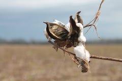 Seme di cotone nel campo nel Mississippi fotografia stock libera da diritti