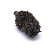 Seme di Laurocerasus del Prunus Fotografie Stock Libere da Diritti
