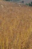 Seme di lino - tela Fotografia Stock Libera da Diritti