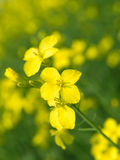 seme di ravizzone Immagini Stock