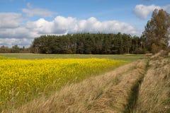 seme di ravizzone del campo Fotografia Stock