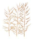 Seme di ravizzone del seme oleifero o del Canola Fotografia Stock
