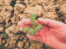 Seme di ravizzone della tenuta della mano dell'agricoltore nel giacimento di primavera qualità del controllo dell'agricoltore del Fotografia Stock