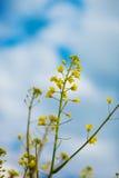 Seme di ravizzone di fioritura del seme oleifero Immagini Stock