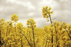 Seme di ravizzone di fioritura del seme oleifero Immagine Stock