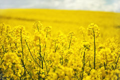 Seme di ravizzone di fioritura del seme oleifero Immagine Stock Libera da Diritti