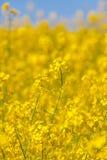 Seme di ravizzone di fioritura del seme oleifero come fondo Immagini Stock Libere da Diritti