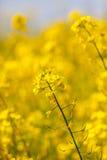 Seme di ravizzone di fioritura del seme oleifero come fondo Fotografia Stock