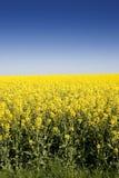 Seme di ravizzone di fioritura sotto cielo blu Fotografia Stock