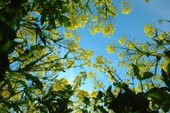 Seme di ravizzone e cielo blu Fotografie Stock Libere da Diritti