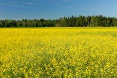 Seme di ravizzone giallo Fotografie Stock