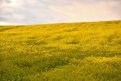 Seme di ravizzone giallo Immagine Stock Libera da Diritti