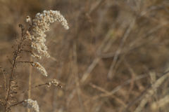 Seme giallo carico secco Plume Background fotografia stock libera da diritti