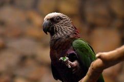 Seme innestato nel piede di Hawk Headed Parrot Fotografie Stock Libere da Diritti
