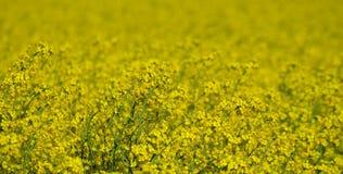 Seme oleifero seminato campo della primavera, Boemia del sud Fotografia Stock