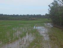 Seme verde del riso Fotografia Stock Libera da Diritti