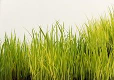 Semeação do arroz Fotografia de Stock Royalty Free