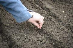 Semeando as sementes da cebola Foto de Stock