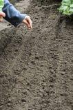 Semeando as sementes da cebola Foto de Stock Royalty Free