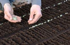 Semeando as sementes vegetais na cama do jardim Foto de Stock