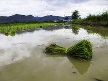Semeando o arroz Foto de Stock