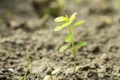 Semeie o crescimento da germinação na floresta Imagem de Stock Royalty Free