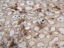 Semelle de paon - pavoninus de Pardachirus photographie stock libre de droits