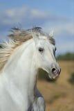 Semental andaluz blanco que corre en los campos Imagenes de archivo