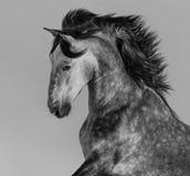 semental andaluz Dapple-gris - retrato en el movimiento fotos de archivo