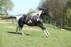 Semental asombroso del caballo de la pintura con la melena larga Imagen de archivo