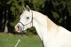 Semental blanco asombroso del caballo árabe Imagen de archivo